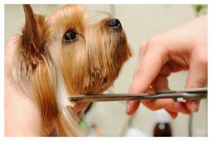 terrier having a haircut