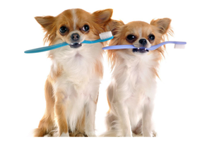 portrait of purebred chihuahuas with toothbrush in front of white background